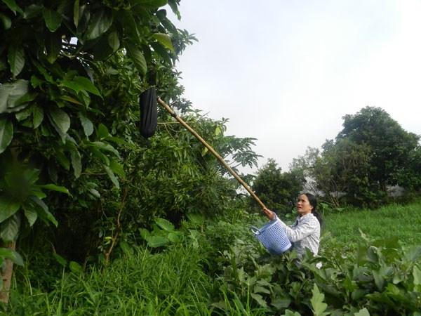 Cao nguyên Mộc Châu  kết hợp du lịch với nông nghiệp
